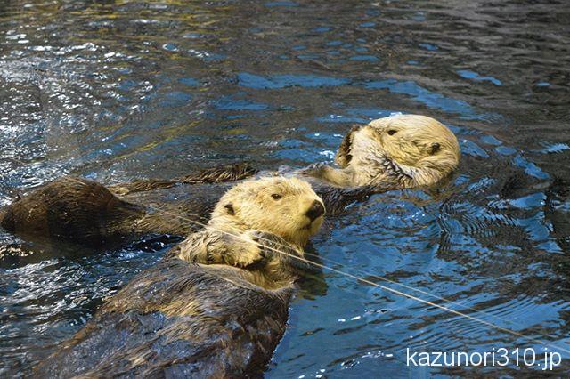 須磨 水族館 ラッコ
